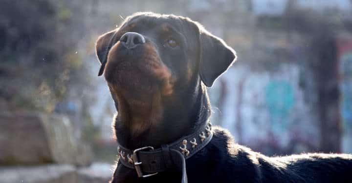 rottweiler chien mechant ou chien dangereux