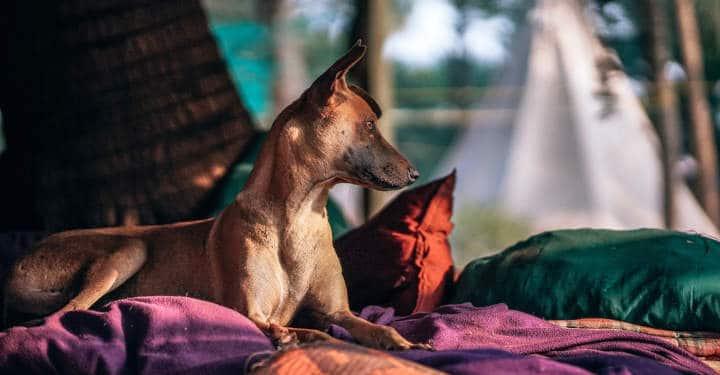 Qu'est-ce qu'un chien sociopathe